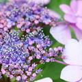 ガクアジサイ 両性花と装飾花