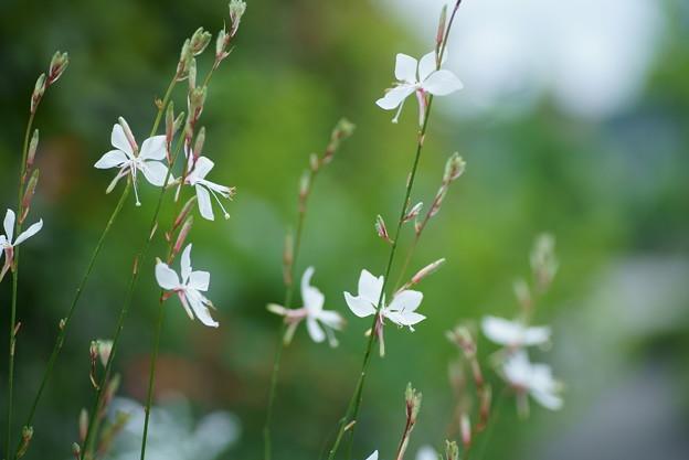 白蝶草(3) 白い蝶がいっぱい