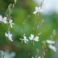 Photos: 白蝶草(3) 白い蝶がいっぱい
