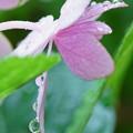 紫陽花 しずく(1)