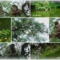 Photos: 兼六園 瓢池 アカマツとアオバズク
