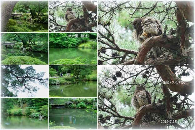 兼六園 瓢池 赤松とアオバズク