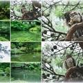 Photos: 兼六園 瓢池 赤松とアオバズク