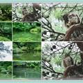 兼六園 瓢池 アオバズクと赤松