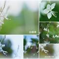 Photos: 白蝶草