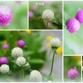 Photos: 千日紅