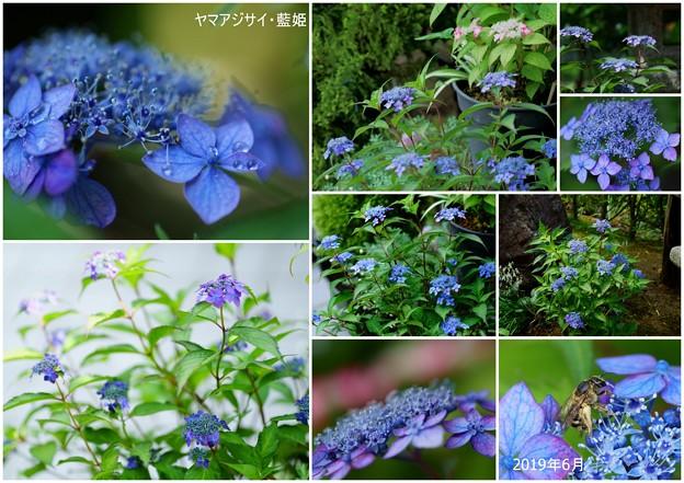 Photos: 6月のヤマアジサイ 藍姫