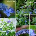 6月のヤマアジサイ 藍姫