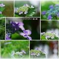 Photos: 6月のヤマアジサイ・城ヶ崎