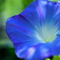 ブルーの朝顔