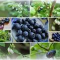 Photos: ブルーベリーの花と実