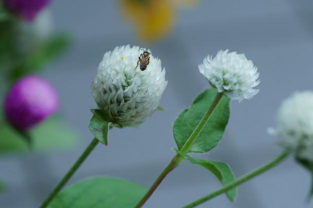千日紅に小さな蜂