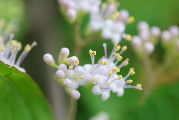 紫式部の花が開花