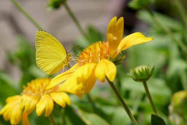 キチョウ 黄色が好き