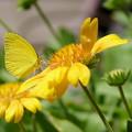 Photos: キチョウ 黄色が好き