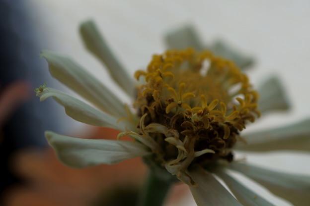 百日草  +  クモ