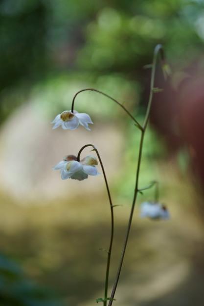 最後のレンゲショウマ 純白(3)