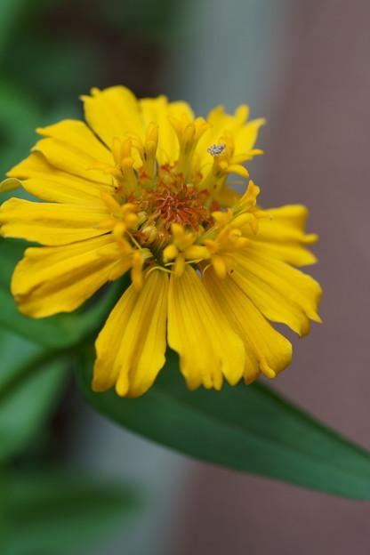 黄色のヒャクニチソウ 小さな虫