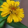 Photos: 黄色のヒャクニチソウ 小さな虫