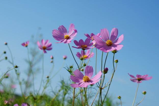 青空にピンクのコスモス
