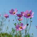 Photos: 青空にピンクのコスモス