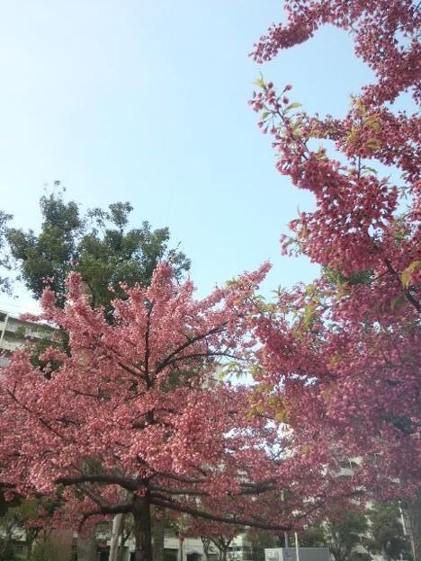 なに桜?→寒緋桜(緋寒桜)