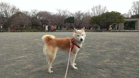 柴犬さくらさん(2016年3月26日)