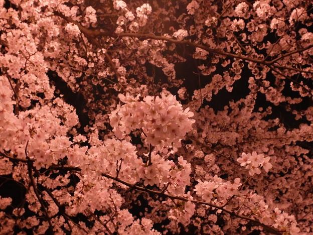 夜桜 (7)