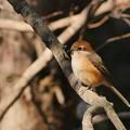 P5580839-百舌鳥