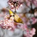 Photos: P5890271-桜&メジロ
