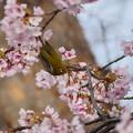 Photos: P5890595-桜&メジロ