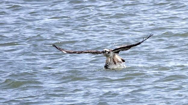 写真: DSC00881-ミサゴ 漁成功!
