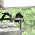 写真: DSC04036-チョウゲンボウ♀育雛給餌完了♪