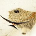 DSC02326-コシアカツバメ 給餌