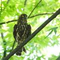 DSC01758-アオバズク 親鳥しっかりと見守り