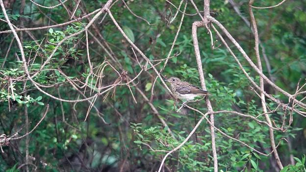DSC06753-キビタキ幼鳥