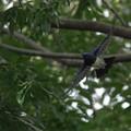 DSC00385-オオルリ成鳥♂