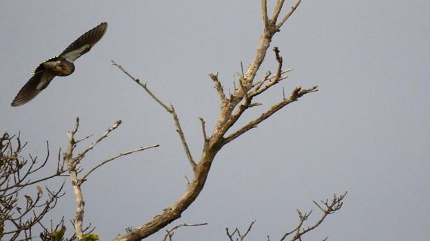 椋鳥逃げる