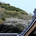 Photos: 甍桜