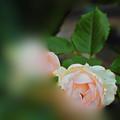 Photos: 桃のように・・・