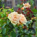 寄り添い薔薇