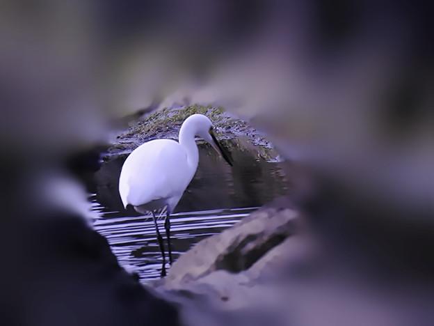 白鷺(総称)