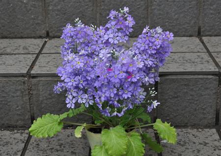 サクラソウ 青紫