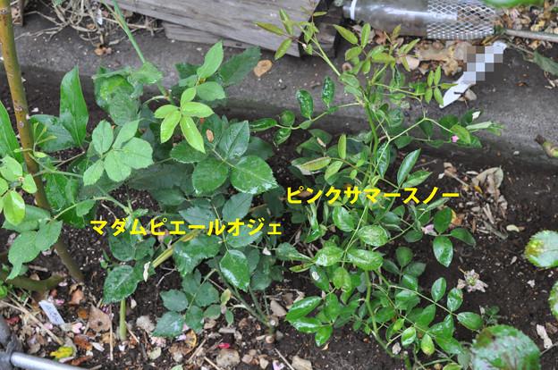 地植えツルバラ 2品種 20180606