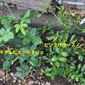 写真: 地植えツルバラ 2品種 20180606