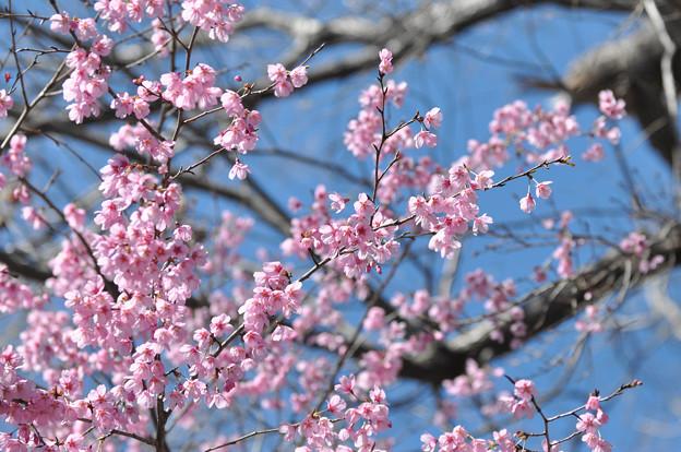 桜 20190324_2