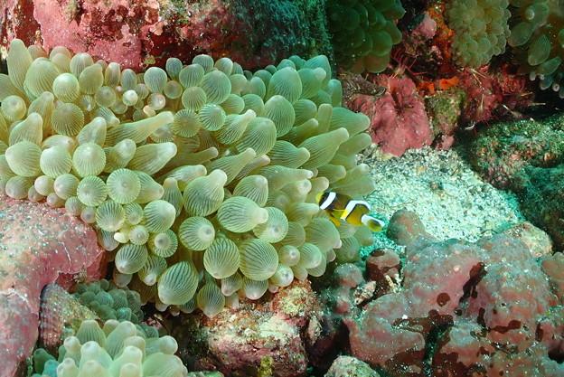 19.08.31 クマノミ 幼魚 サラサエビ