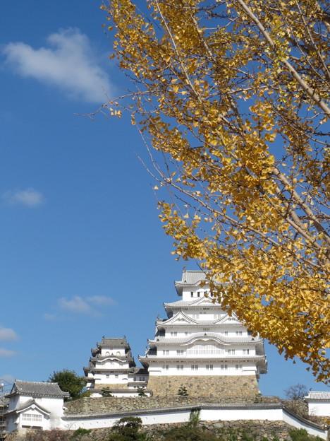 Photos: 銀杏と姫路城