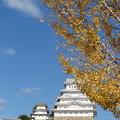 銀杏と姫路城