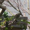 写真: たぶん、春告鳥